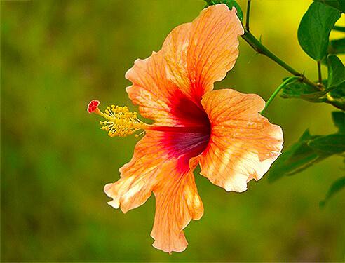 Chinese roos in de tuin van Villa Bali Breeze Lovina