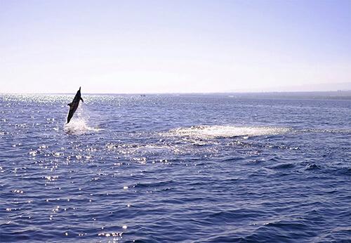 Springende dolfijn tijdens dolfijnen-safari Lovina