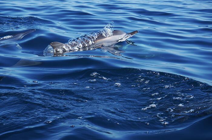 Dolfijn met luchtbellen op het rif van Lovina