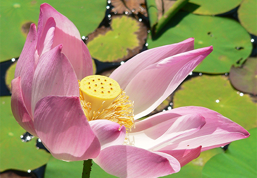 Lotus bloem in de tropische tuin van de villa